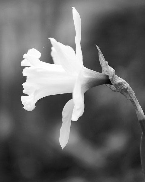 White Daffodil Copyright 2008 RFW LLC