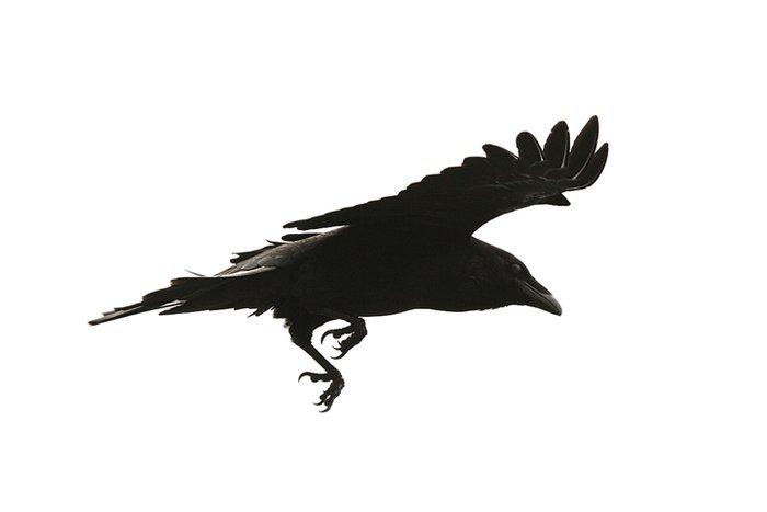 Raven in the Fog II